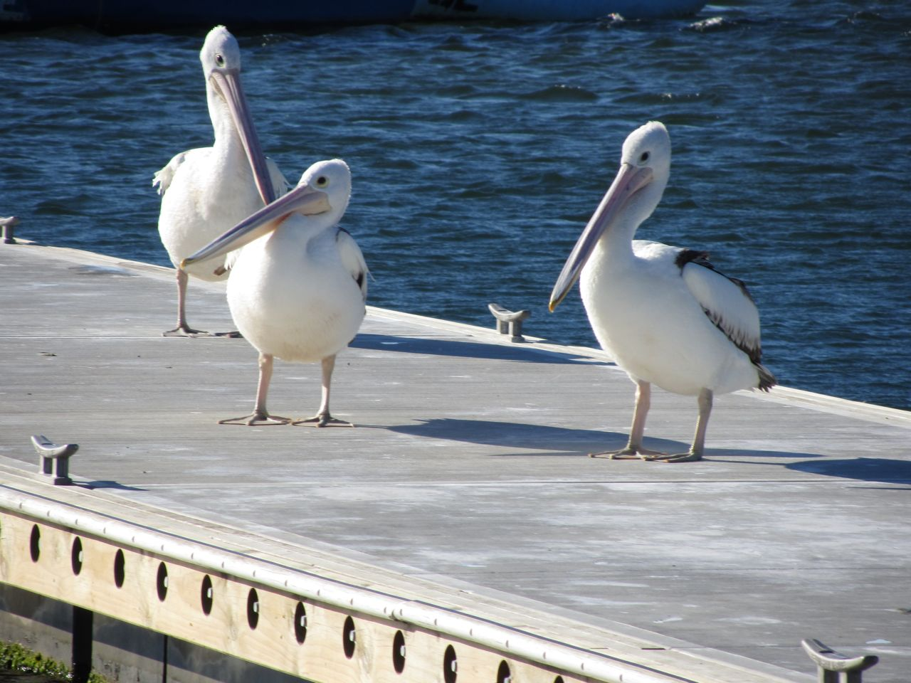 Lakes Entrance pelicans.